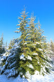 Fur-tree in wood in the winter Royalty Free Stock Image