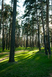 Fur trees grove with sun beams Royalty Free Stock Photo