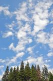 Fur-trees under the huge sky. Royalty Free Stock Photography