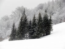 Fur-trres. Couple of fur-trees on the snow-covered mountain royalty free stock image