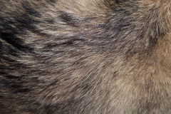 Fur of wolf. Abstract texture background of fur of wolf royalty free stock photos