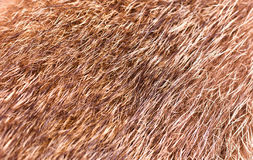 Fur of a wolf, texture Royalty Free Stock Images