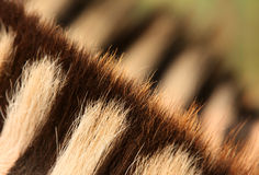 Fur of zebra Stock Image