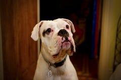 Furacão o pugilista do cão da maravilha imagens de stock