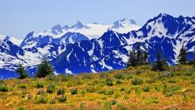 Furacão roxo do Lupine das montanhas da neve do Mt Olympus foto de stock royalty free