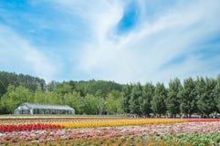 FURANO HOKKAIDO, JAPAN-12 JULI, 2015: Färgrika rader av blommor Fotografering för Bildbyråer
