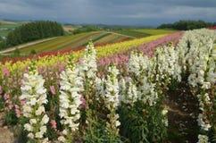 Furano Japan. Flower farm in furano japan landscape Stock Photos
