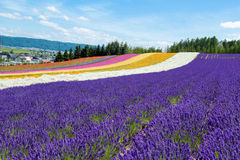 Furano lavendel Royaltyfri Fotografi