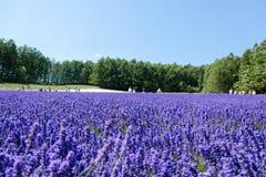 Furano lavendel Royaltyfria Bilder