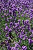 Furano lavendel Royaltyfri Bild
