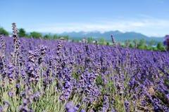 Furano lavendel Royaltyfria Foton