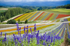 Furano Lavenders Royalty Free Stock Photos