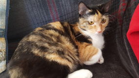 Furball. Cat female sitting daytime indoors cute Royalty Free Stock Photo