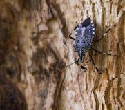 Furcellata Eocanthecona черепашки вони на дереве стоковая фотография rf