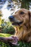 Furchtloser Hund, gefährlich, einen Knochen essend Goldener Apportierhund lizenzfreie stockfotografie