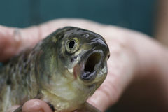 Furchtsame Fische mit einem gekrümmten Mund in der Hand des Fischers stockfotos