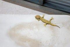 Furchtsame Geckoaufstiege und -stöcke auf der Zementwand in der Toilette - Sourteast Asien lizenzfreies stockfoto