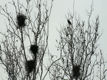 Furchtsame Krähen, die auf Bäumen fliegen und stillstehen stock footage