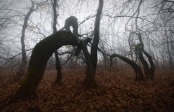 Furchtsame verdrehte Bäume im mysteriösen frequentierten Wald mit Nebel lizenzfreie stockfotografie
