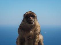 Furchtsamer Barbary-Makaken oder Affe von Gibralter, Macaca sylvanus Lizenzfreies Stockbild