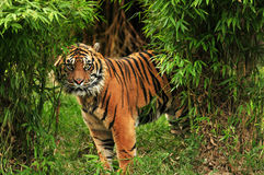 Furchtsamer Tiger im Holz Lizenzfreie Stockfotografie