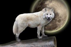 Furchtsamer weißer Wolf in der Nacht stockbilder