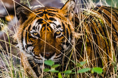 Furchtsames Auge königlichen Bengal-Tigers stockfotografie