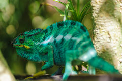 Furcifer. A genus of chameleons mostly endemic to Madagascar royalty free stock photography