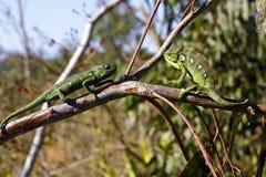 两个地毯变色蜥蜴(Furcifer lateralis) 免版税库存照片