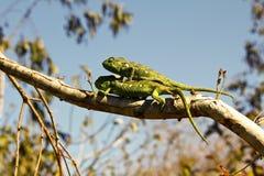 两个地毯变色蜥蜴(Furcifer lateralis) 免版税库存图片