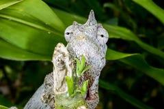 Furcifer oustaleti, marozevo Stock Images