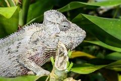 Furcifer oustaleti, marozevo Stock Image