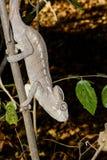 Furcifer oustaleti, tsingy de bemahara Royalty Free Stock Photography