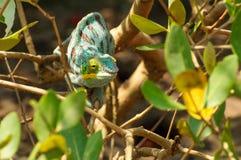 Furcifer pardalis Royaltyfria Bilder