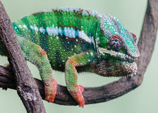 Furcifer pardalis Stock Photos