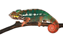 Furcifer pardalis (Panther Chameleon). Is sitting on a branch of a tree. White background Stock Image