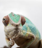 Furcifer pardalis - Panther Chameleon Royalty Free Stock Images