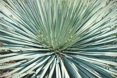 Furcraea selloa var. marginata cactus. In the Royal Botanic Garden Melbourne, Australia royalty free stock photo