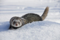 Furet Photographie stock