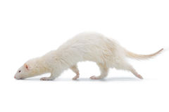 Furet albinos Photographie stock