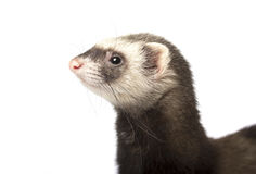 Furet d'isolement Photographie stock libre de droits