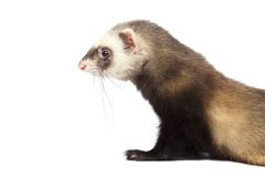 Furet d'isolement sur le fond blanc Photo libre de droits