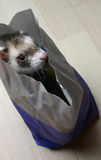 Furet dans un sac Photo stock