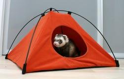 Furet dans une tente photographie stock libre de droits
