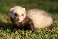 Furet de chéri Photo stock