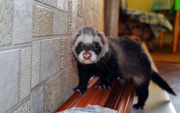 Furet de photo Photographie stock libre de droits