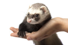 Furet se reposant sur la main d'isolement Photo libre de droits