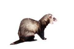 Furet sur le fond blanc Photo stock