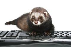 Furet tapant sur le clavier Photographie stock libre de droits