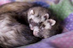 Furets : Moka + haricot Photo stock
